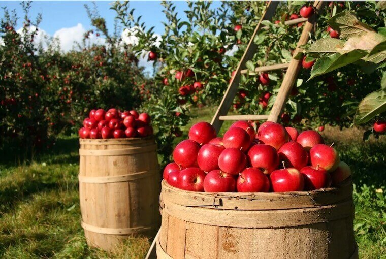 2 barrels overflowing with red apples in an orchard