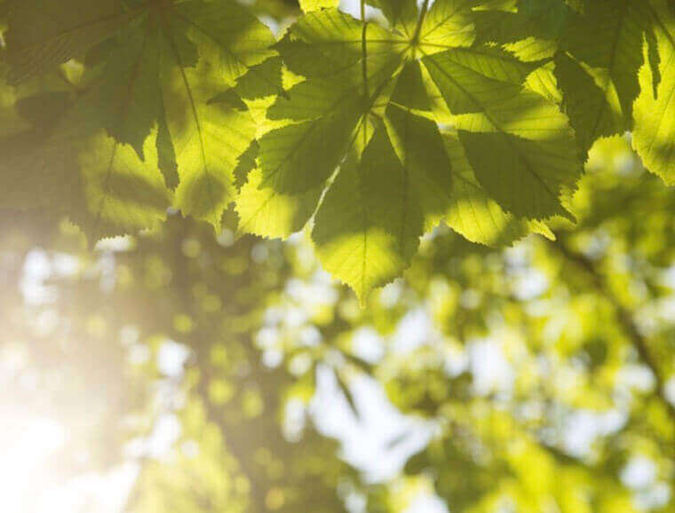 green chestnut leaves with lens flare image