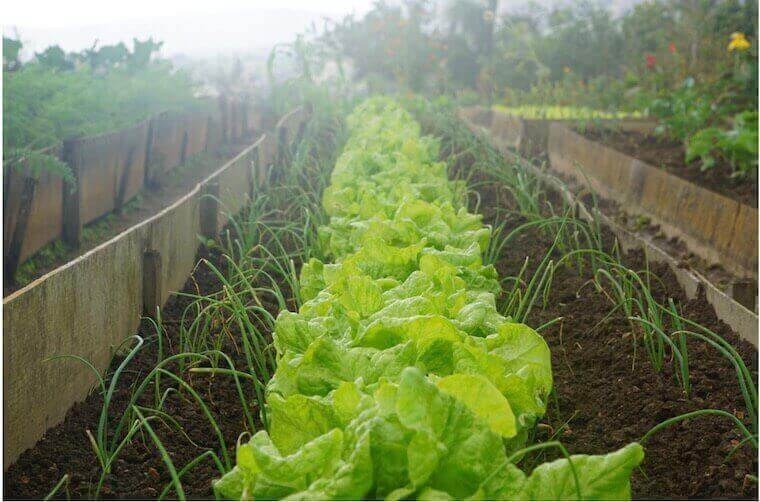 lettuce planted in a row