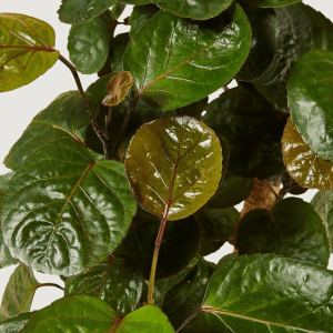 Close up photo of the leaves of an Aralia Fabian plant