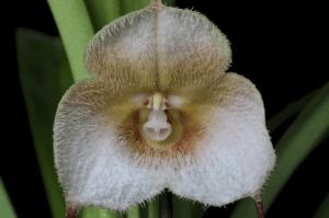 Dracula Amaliae orchid