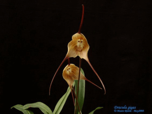 Dracula Gigas orchid