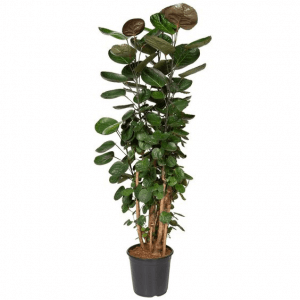 A tall Aralia (Polyscias 'Fabian') plant in a black pot